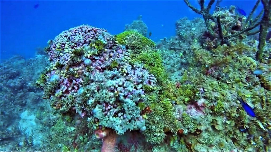 Ocho coral